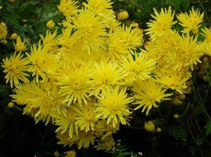 黄色い食用菊