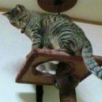 タワーキジトラ猫 み~ 日本猫 種類