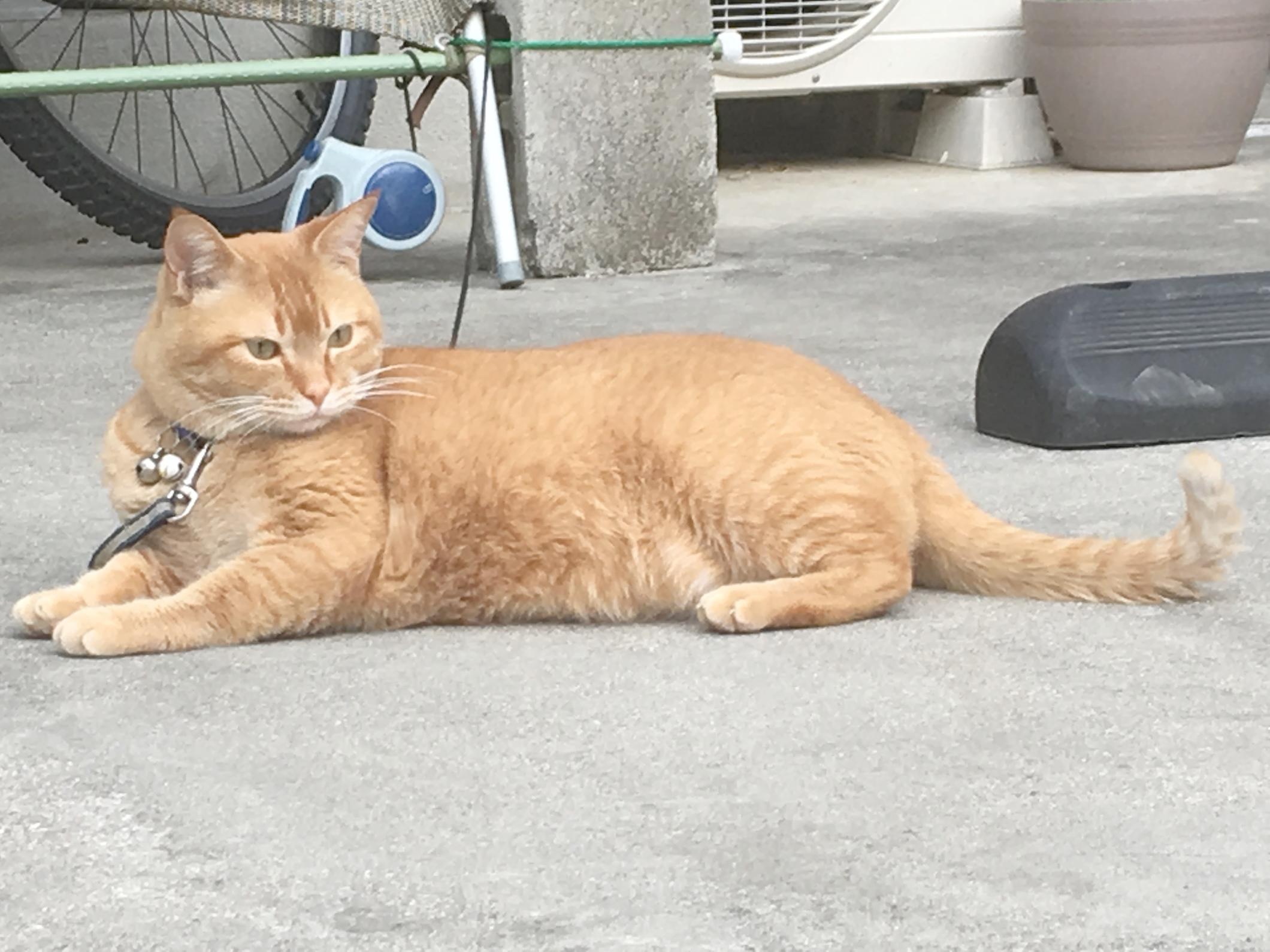 日本猫の種類、茶トラってどんな猫?特徴は?性格は ...