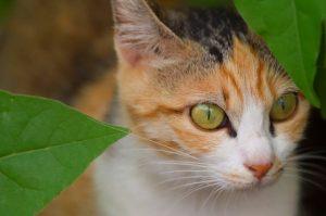 猫目ヘーゼル