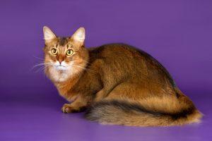 ソマリ成猫