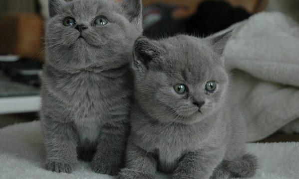 グレー子猫