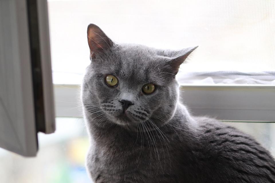 猫 グレー